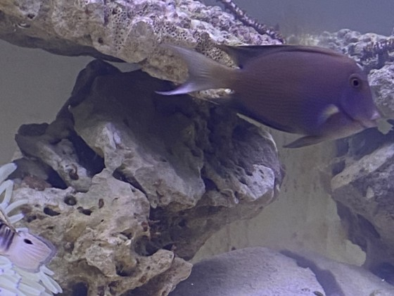 Kann mir wer sagen was das für ein Borstenzahn Doktorfisch ist?