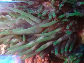 Cribrinopsis crassa