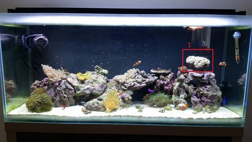 Blasenkoralle bildet sich zurück - Korallen - www.meerwasserforum.info